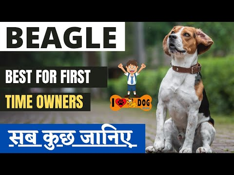 #beagle #dogsfacts #smalldogbreed Know About Beagle Dog Breed , Best Small Size Dog Breed In Hindi