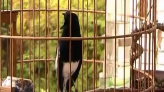 oriental magpie robin   song