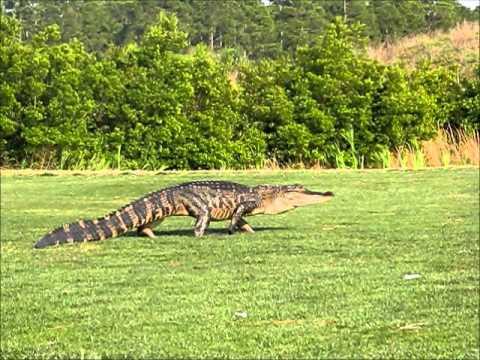 Alligator Chase