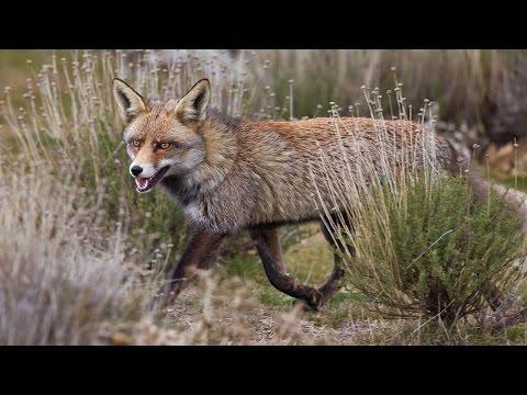 Documental : El zorro iberico | Spain Nature