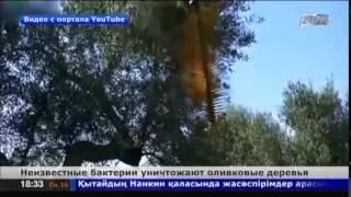 Бактерии массово уничтожают оливковые деревья в Италии(В Италии фермеры вырубают вековые оливковые рощи., 2014-08-16T13:38:50.000Z)