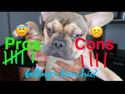 French Bulldog Pros And Cons | Should You Get A Frenchie?