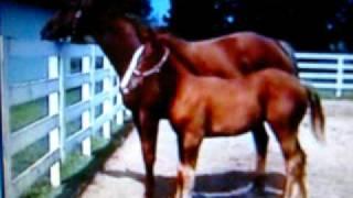 Chestnut Quarter Horse Mare