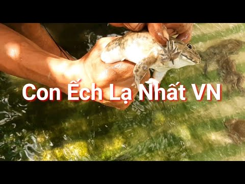 Con Êch kỳ lạ nhất VN và cách phân biệt ếch đực và ếch cái của anh sươne /THU GIAN TRA VINH
