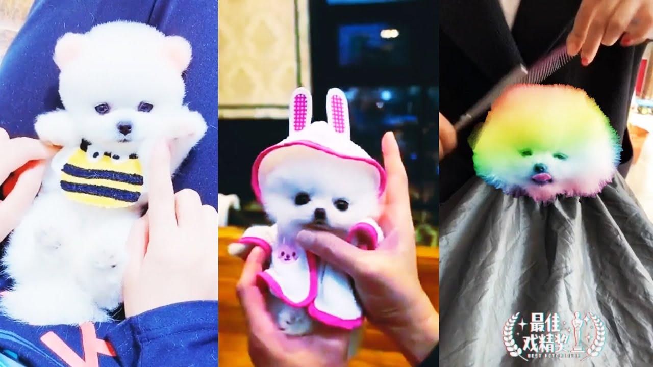 Funny and Cute Pomeranian Compilation Little Puppies Video Tik Tok Chó phốc sóc mini #5