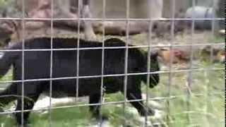 O pantera neagra la zoo - Black panther at zoo