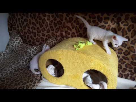 Flairelings 2017 Devon Rex kittens