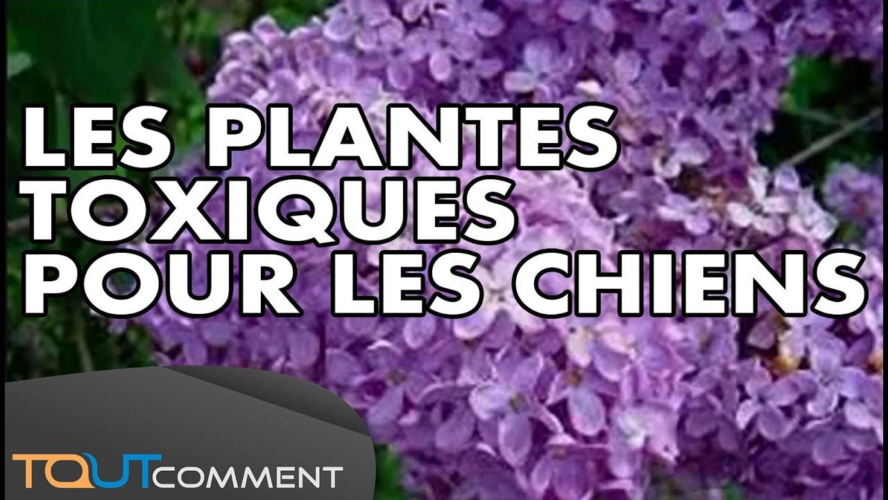 9 plantes toxiques pour les chiens youtube for Plante toxique chien