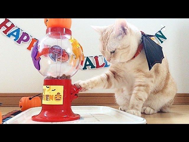 Cat Enjoys Halloween Treats 猫とハロウィンおやつ
