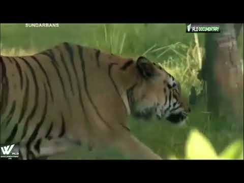 भारत का सबसे खतरनाक जंगल  सुंदरबन    The Dange