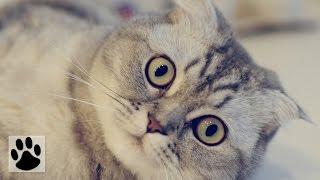 Породы кошек - Шотландская вислоухая кошка. [Cat Fold (Animal Breed)]