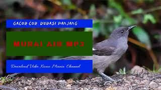 [20.94 MB] Masteran Murai Air Gacor mp3 | Masteran Murai Air Durasi Panjang Suara Alam Percikan Air