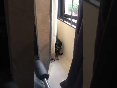 Bad Bella (guilty chihuahua dog)