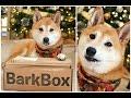Our CRAZY Shiba Inu! ❤ BarkBox Review