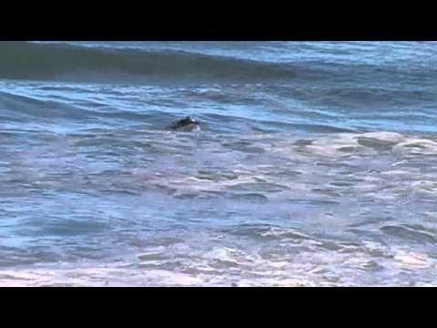 Surfing At St Clair Beach, Dunedin NZ