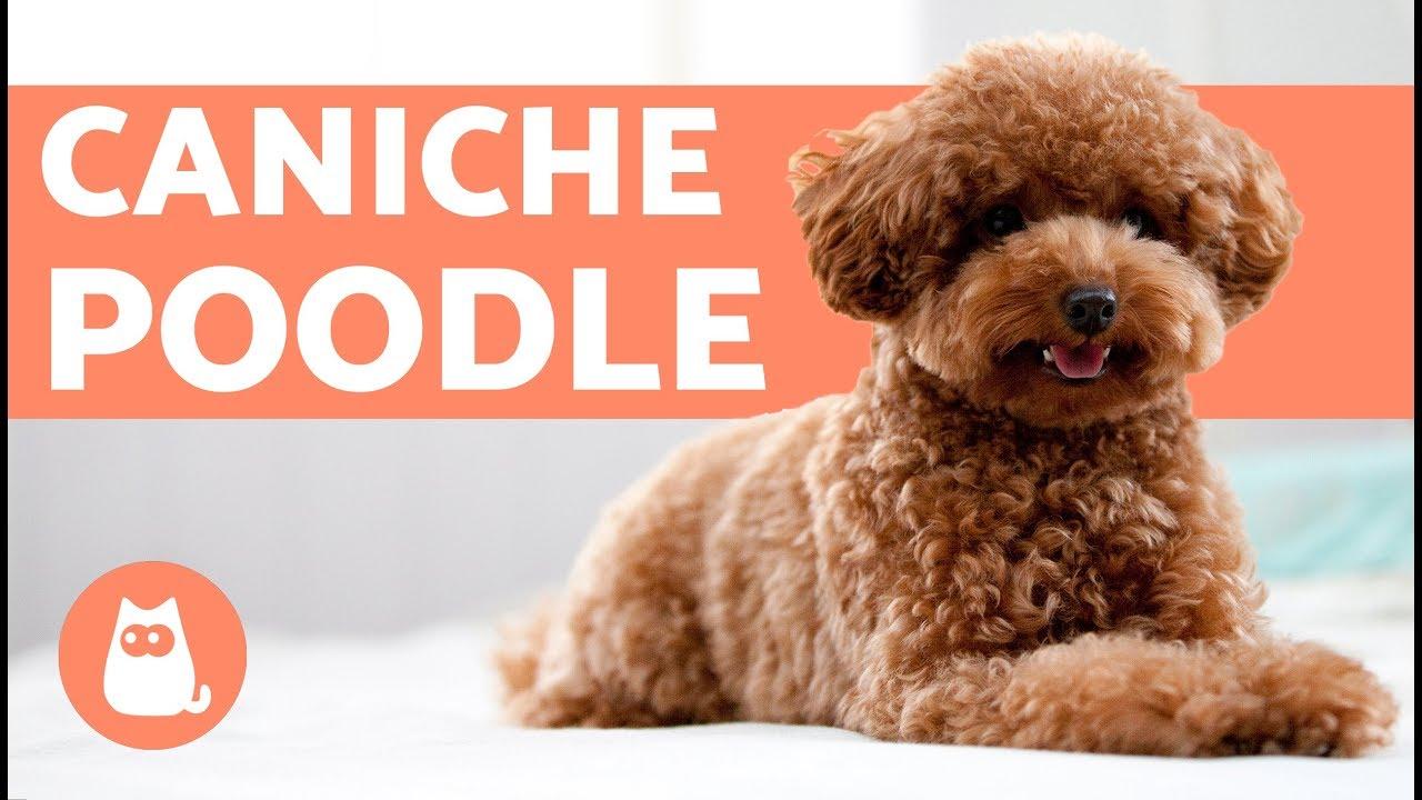 El Caniche O Poodle Caracteristicas Y Cuidados Youtube