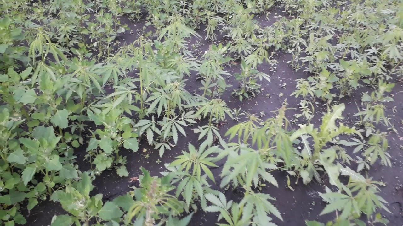 Где растет конопля в красноярске кому показано курить коноплю