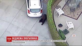 Ведмедиця блукала вулицями американського містечка і полохала людей