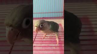 Chinaman conure cut ring DNA 6months chick | wonderpets