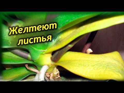 Что делать Если желтеют листья Орхидеи!  Как спасти Орхидею?