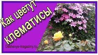 Как цветут клематисы? Клематисы в саду