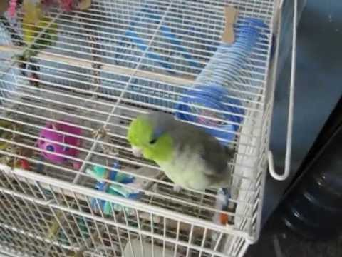Parrotlet Temper Tantrum! (Echo)