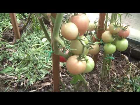 видео: Что выросло из семян от Партнера в теплице. 15 августа 2018
