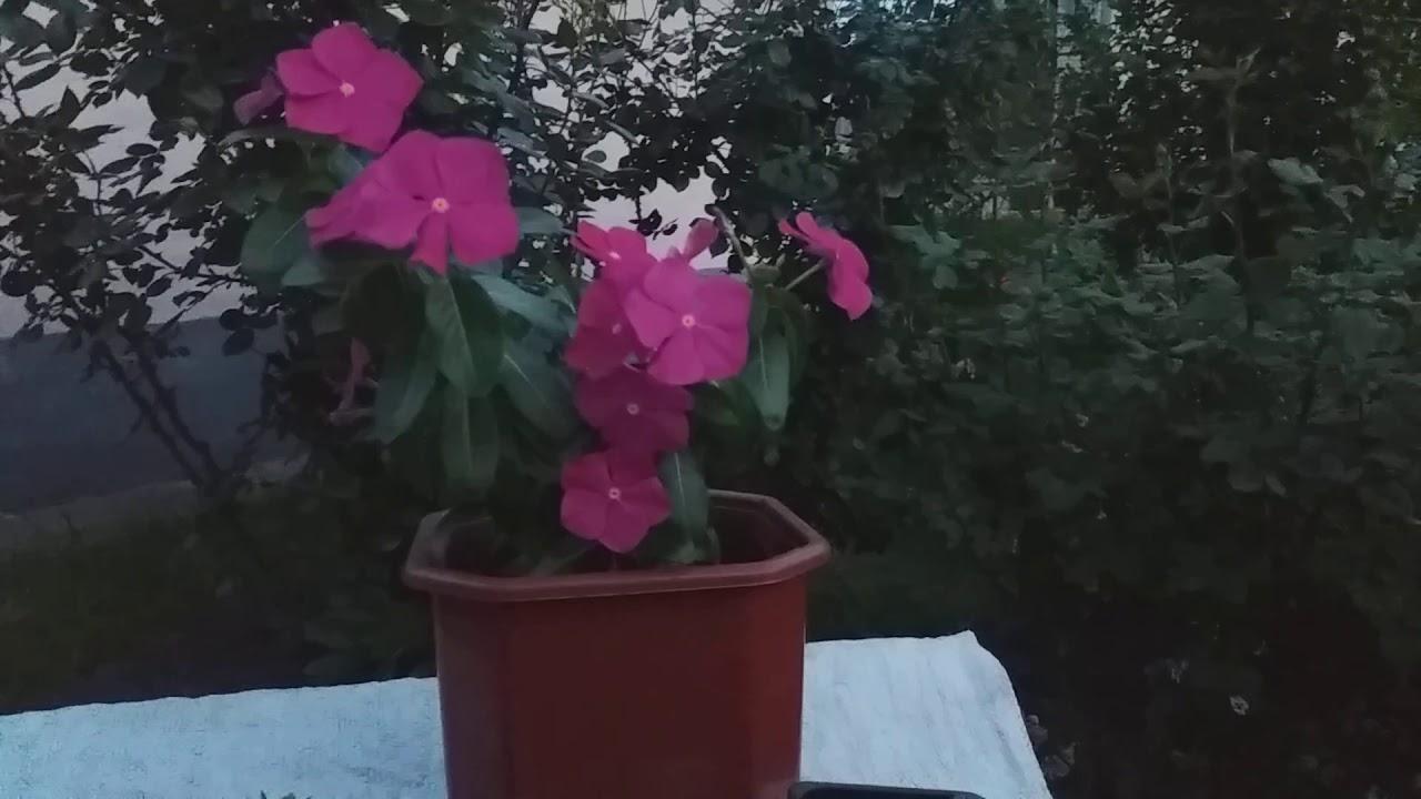 Катарантус розовый. Выращивание.