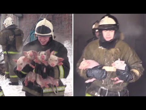 Nearly 200 Squealing Pigs Are Rescued By Firefighters From Burning Building