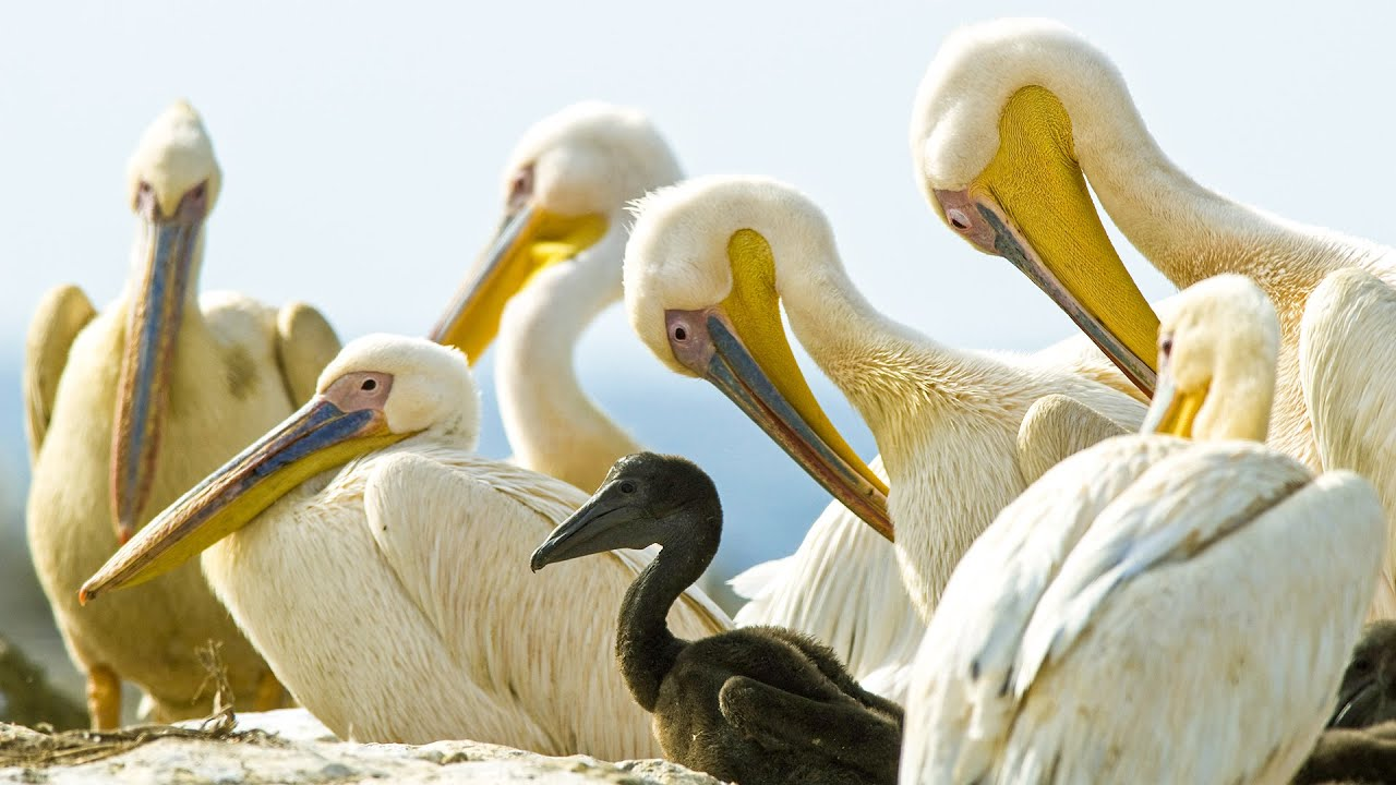 Download Pelicans Feast On Cape Gannet Chicks   Life   BBC Earth