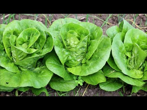 How to Grow Little Gem Lettuce from Seed