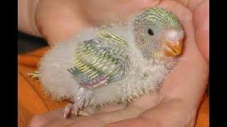 Muhabbet Kuşlarında Yeni Yavrular Nasıl Yeme Alıştırılır ve Nasıl Beslenir ?