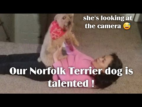 Our Norfolk Terrier dog is Talented