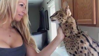 Leoparden-Katze (Rasse: Bengal)