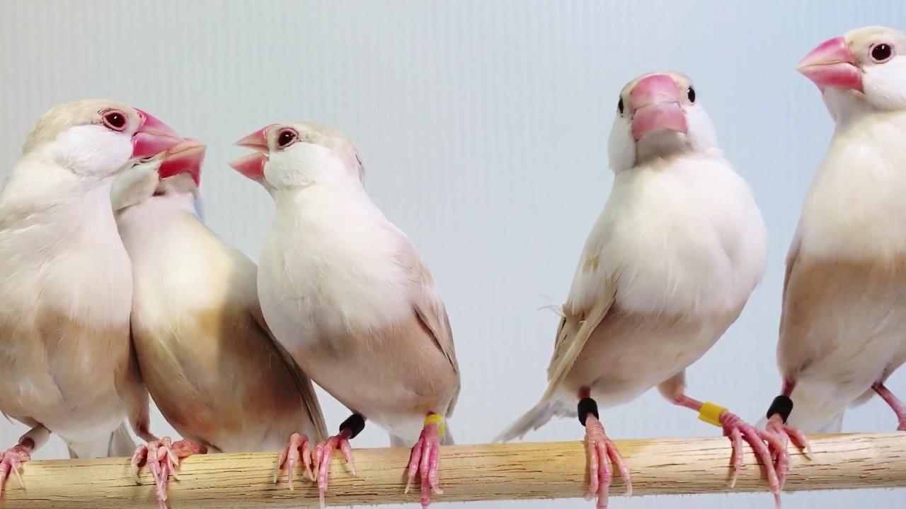 期 文鳥 換羽