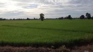 Rice Fields paddy,agriculture Rice production in Thailand-Phichai,Uttaradit HD 1920x1080 True Sound