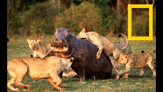 Fascinating Battle Strategies In The Animal Kingdom - Wildlife Super Predators(Nat Geo)