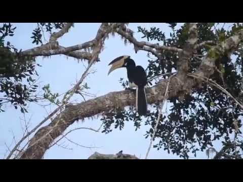 Malabar Pied Hornbill @ Yala Nathional Park.