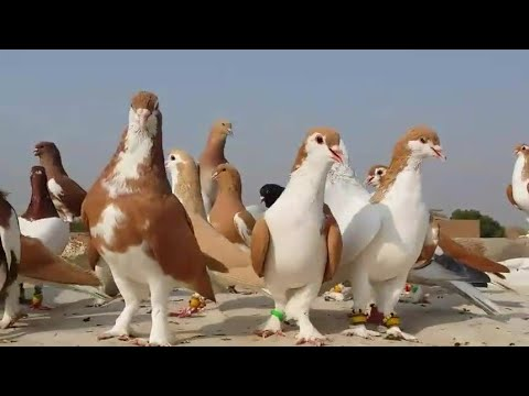 World Best Verity Colorful Pigeons (Kabootar) in Pakistan