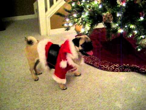 Pug puppy in santa suit eating Christmas tree - YouTube