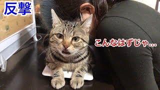 妹の仕事を邪魔していたずらしに来たのに反撃を喰らってしまった猫w