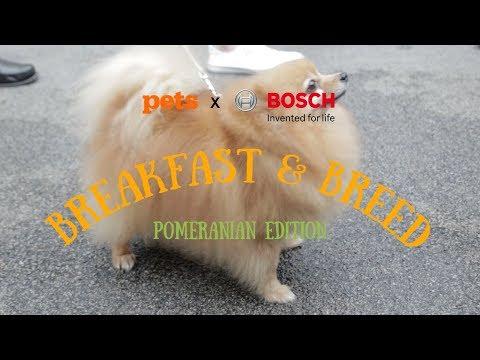 Pets Magazine Breakfast and Breed #7 - Pomeranian Edition