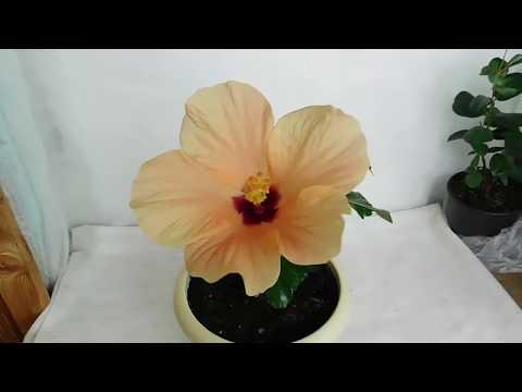 🌹🌹🌹КАК ВЫРАСТИТЬ КОМНАТНЫЙ ГИБИСКУС ! Чем подкармливать для цветения и хорошего развития