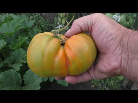 Самый крупный сорт из моих помидоров в этом сезоне