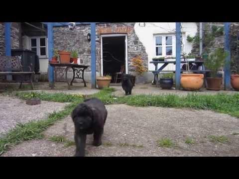 Bouvier des Flandres Puppies