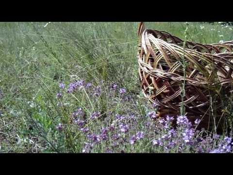 Чабрец-трава богов