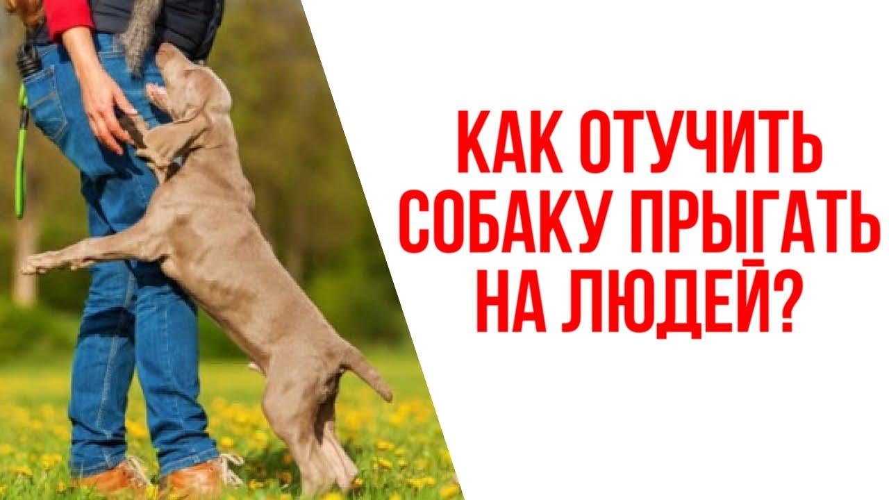 Как отучить собаку прыгать на людей? Лучшие советы для владельцев собак!
