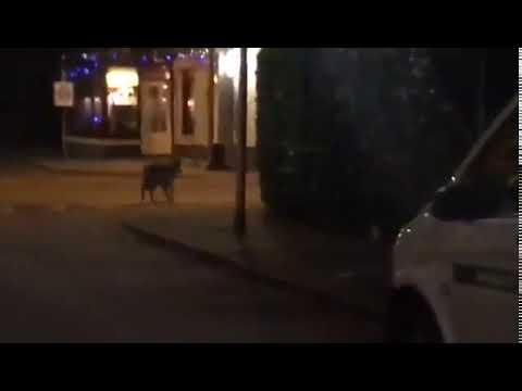 Wolf in Bennekom