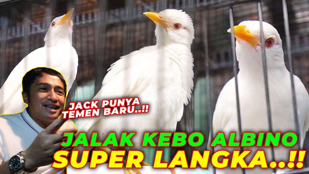 JACK PUNYA TEMEN BARU. JALAK KEBO MATA MERAH ADA DI AVIARY..!!