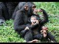 Download Chimp Life Diary - BBC